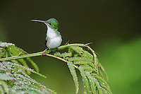 Andean Emerald (Amazilia franciae), adult perched on fern,Mindo, Ecuador, Andes, South America