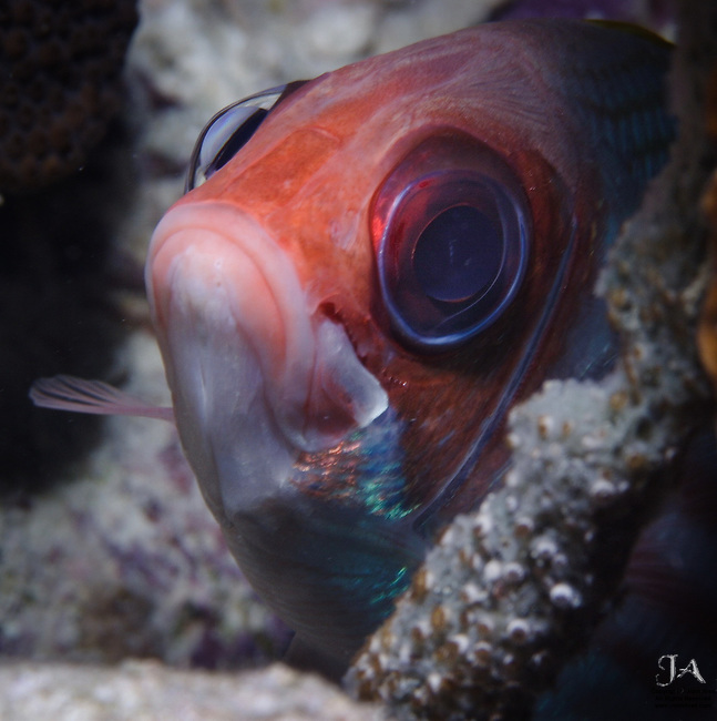 Squirrelfish closeup with big worried eyes and sad expression