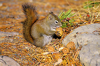 Red squirrel (Tamiasciurus hudsonicus) with pine cones it is storing for winter food, Northern Rockies, Fall.