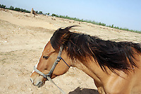 A horse walks across a desert in Hebei Province, China. Desertification is the process by which fertile land becomes desert, typically as a result of drought, deforestation, or inappropriate agriculture. 41 % of China's landmass in classified as arid or desert. Inappropriate farming methods and over cultivation have contributed to the spreading of deserts in China in recent years.