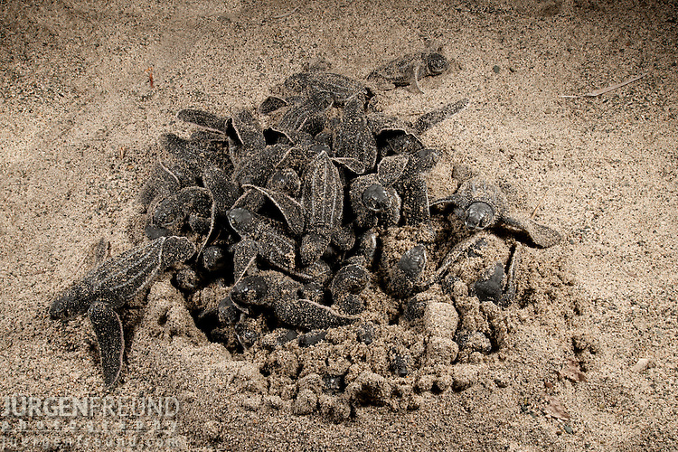 Leatherback turtle baby hatchlings coming out of their nest.