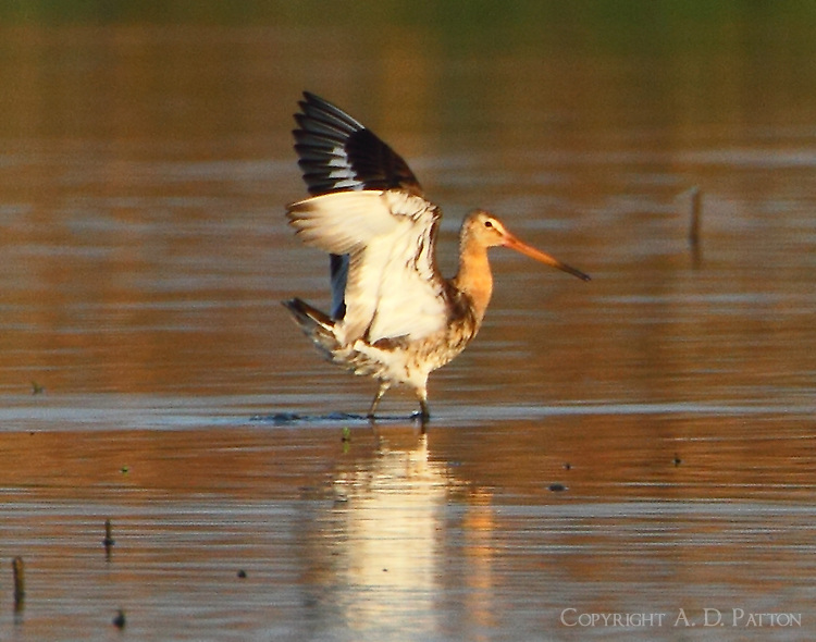Blaqck-tailed godwit after landing