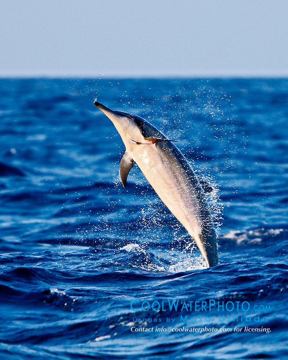 Hawaiian spinner dolphin, Stenella longirostris, jumping, Kona, Big Island, Hawaii, USA, Pacific Ocean