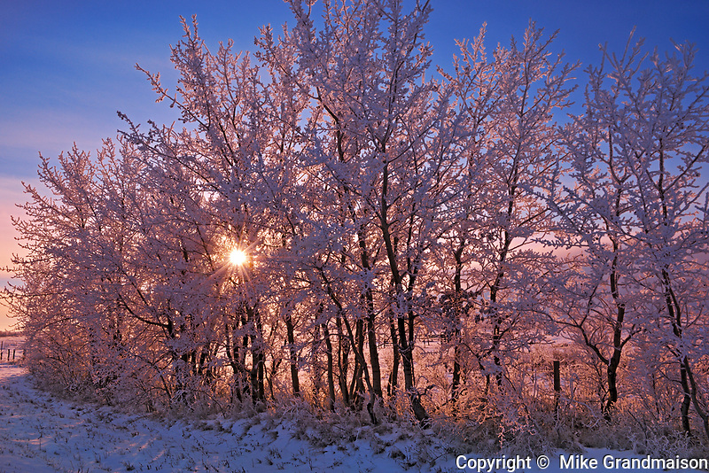 Hoarfrost on shelterbelt trees at sunset, Near Moose Jaw, Saskatchewan, Canada