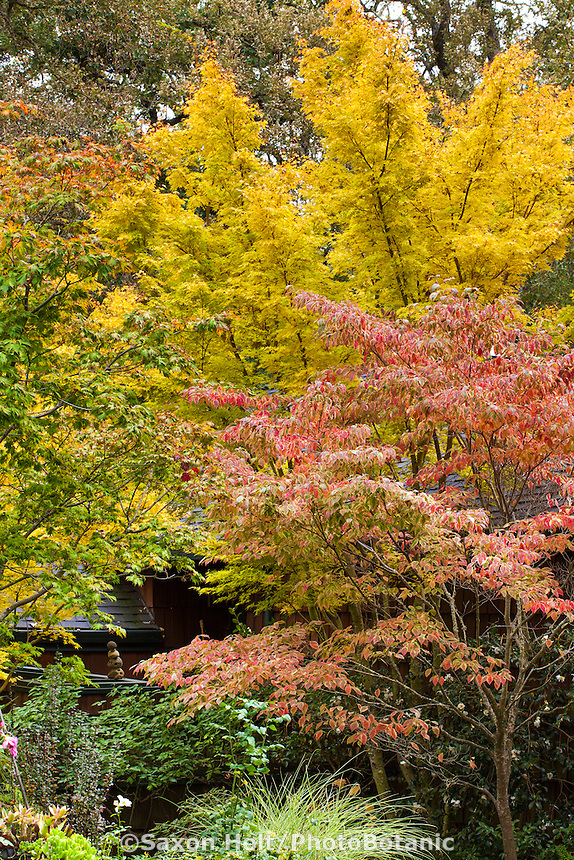 Variegated dogwood tree (Cornus florida 'Cherokee Sunset') with Japanese Maple tree (Acer palmatum 'Sangu Kaku') in Gay Edelson garden in Lafayette, California with fall color