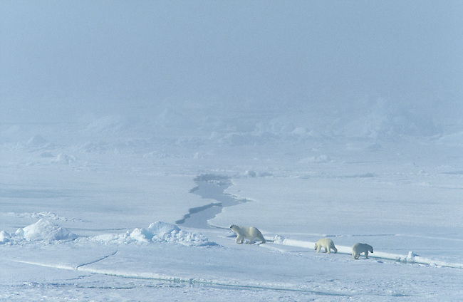 Polar bear mother and cubs on sea ice in the Arctic Ocean.