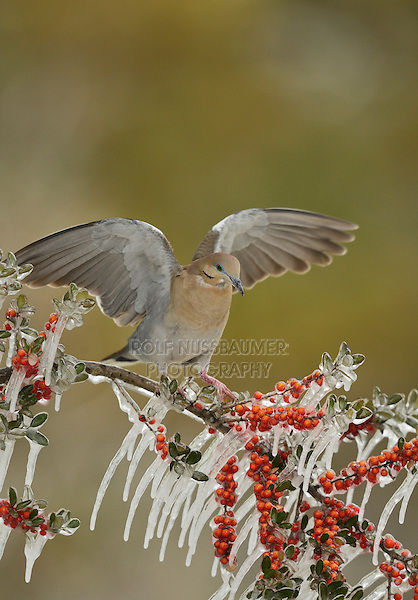 White-winged Dove (Zenaida asiatica), adult perched on icy branch of Yaupon Holly (Ilex vomitoria), Hill Country, Texas, USA