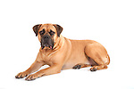Boerboel Breed Dog, in studio, shot to white background