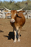LONG HORN COW<br /> <br /> Livestock are domesticated animals raised in an agricultural setting to produce commodities such as food, fiber and labor.