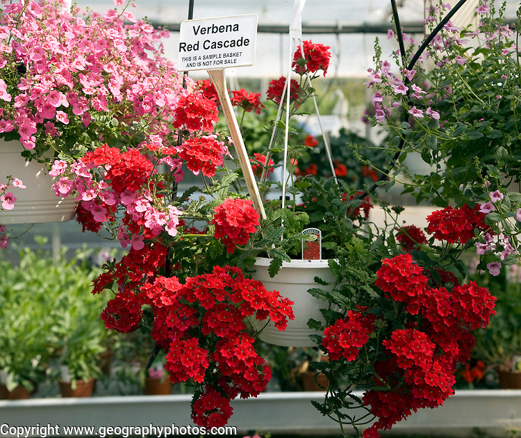 Verbena Red Cascade hanging basket plant display in garden centre