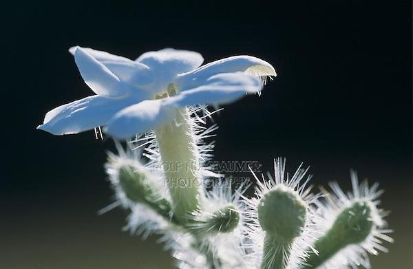 Bull Nettle, Cnidoscolus texanus,blooming, Welder Wildlife Refuge, Sinton, Texas, USA, May 2005