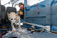 Race Judge Warren Palfrey loads a dropped dog into pilot Jerry Wortley's plane at the ghost-town checkpoint of Iditarod on Saturday, March 10th during the 2018 Iditarod Sled Dog Race -- Alaska<br /> <br /> Photo by Jeff Schultz/SchultzPhoto.com  (C) 2018  ALL RIGHTS RESERVED