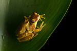 Hourglass Frog (Dendropsophus ebraccatus) pair in amplexus at night, Osa Peninsula, Costa Rica