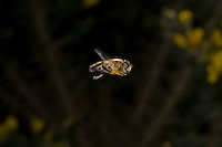 Eristalis sp; hoverfly hovering.