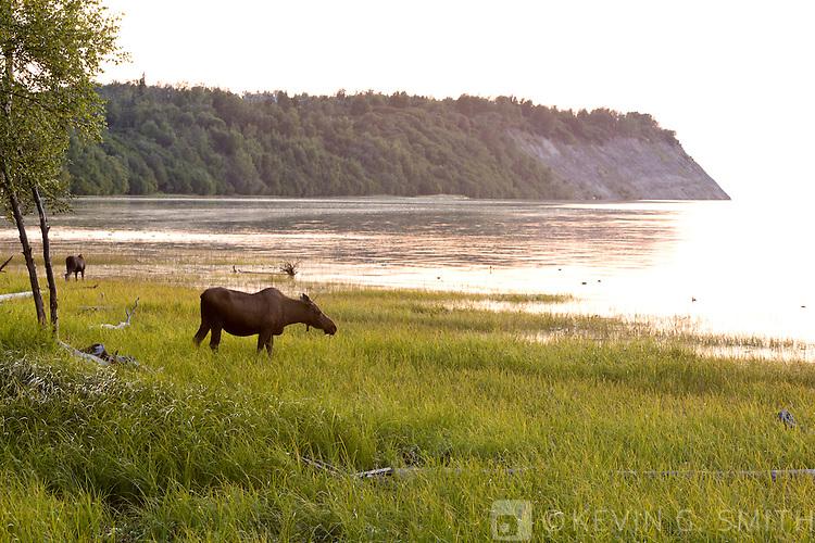 Mama moose and two calfs feeding along the Tony Knowles Coastal Trail at sunset, late summer, Anchorage, Southcentral Alaska, USA.