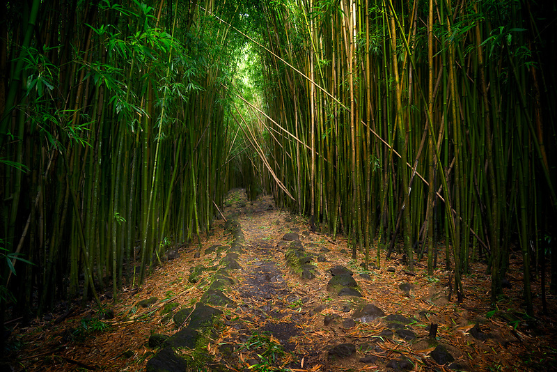 Bamboo Forest from Pipiwai Trail. Haliakala National Park, Maui Hawaii