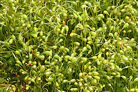 bonfire moss<br /> Funaria hygrometrica