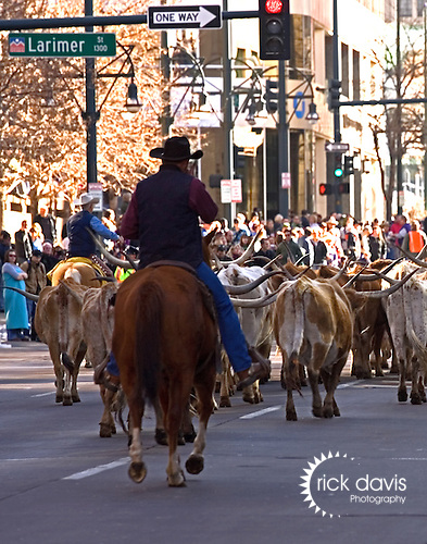 Longhorn cattle are herded through the streets of Denver as part of the traditional National Western Stock Show and Rodeo Parade.