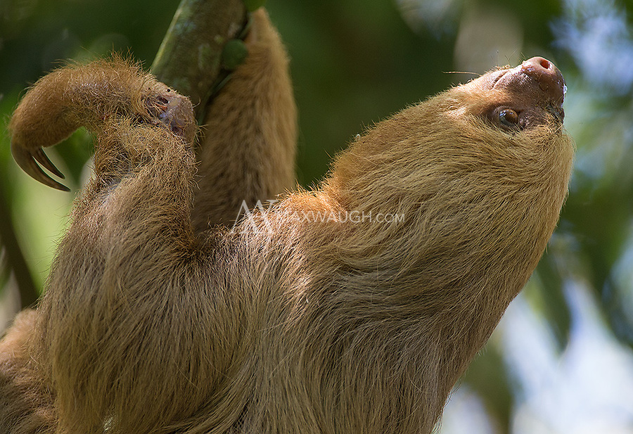 The furrier of Costa Rica's two sloth species.  This individual had an injured wrist, but was still moving quite well.