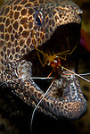 Leopard Moray, Gymnothorax favagineus, being cleaned by scarlet lady shrimp, Lysmata amboinensis, Tulamben, Bali, Indonesia, Pacific Ocean