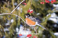 01382-04920 American Robin (Turdus migratorius) eating berry of American Cranberry Viburnum (Viburnum trilobum) in winter, Marion Co., IL