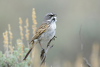 Sage Sparrow (Amphispiza belli) singing in spring. Sublette County, Wyoming. May.