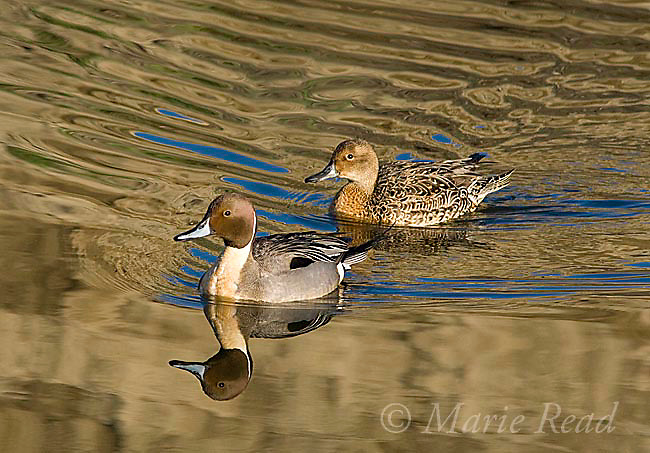 Northern Pintail (Anas acuta) male and female swimming, Bolsa Chica Ecological Reserve, California, USA