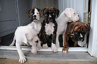 Boxer litter with Porky, born Nov. 05 2009. Brought home Dec 17, 2009 with Cheyenne and Connie