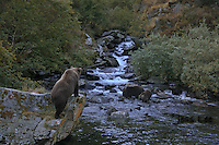Photo of a grizzly standing on a boulder looking down upon a sow and cub fishing for salmon in a stream. Grizzly Bear or brown bear alaska Alaska Brown bears also known as Costal Grizzlies or grizzly bears