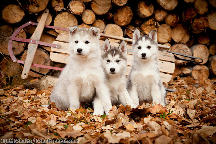 """Three Siberian Husky Puppies Sit In Leaves With Runner Sled And Woodpile In The Background, Alaska, Autumn"""