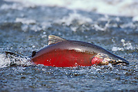 Silver Salmon or Coho Salmon (Oncorhynchus kisutch) male--spawning color