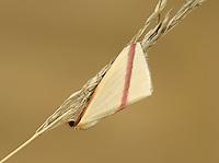 The Vestal - Rhodometra sacraria