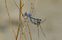 389270023 wild male and female bleached skimmers libellula composita perch in copula or in wheel on a dead plant stem near rawson ponds 2 south of bishop california