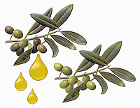 Olives on branch with drops of olive oil