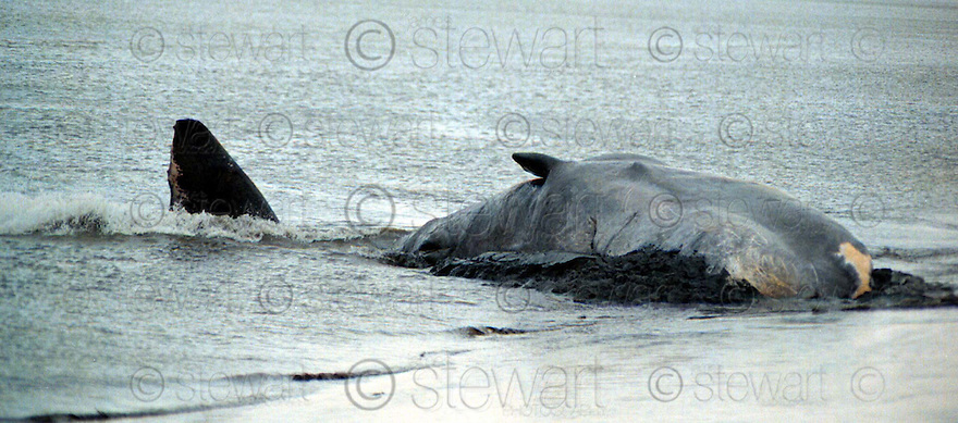 31st March 97   Copyright Pic : James Stewart   .MOBY THE WHALE MAKES ONE LAST EFFORT TO FREE HIMSELF BEFORE HE DIED AFTER BEACHING ON THE BANKS OF THE RIVER FORTH AT AIRTH...........Payments to :-.James Stewart Photo Agency, Stewart House, Stewart Road, Falkirk. FK2 7AS      Vat Reg No. 607 6932 25.Office : 01324 630007        Mobile : 0421 416997.If you require further information then contact Jim Stewart on any of the numbers above.........
