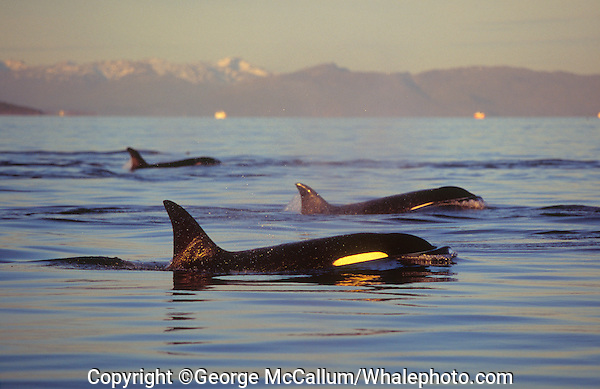 Killer whale group surfacing in calm fjord. Tysfjord, Arctic Norway