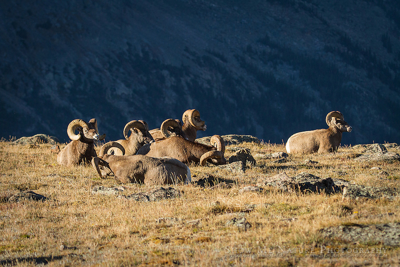 Bighorn Sheep rams resting atop Trail Ridge Road