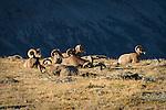 Bighorn Sheep rams resting atop Trail Ridge Road