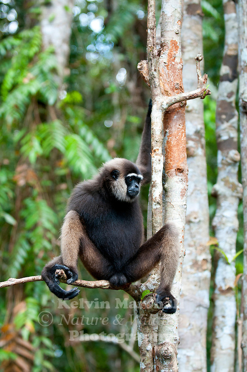 The Bornean Gibbon (Hylobates muelleri) is one of two species of gibbon inhabiting the island of Borneo, the other being the Agile Gibbon Hylobates agilis. The species is endemic to Borneo, and is confined to tall primary rainforest in lowland and lower montane areas. .