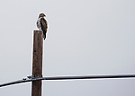 A young Red Tail Hawk sits on a pole during the Eagles & Agriculture event on Friday, Jan. 26, 2018 in the Carson Valley.