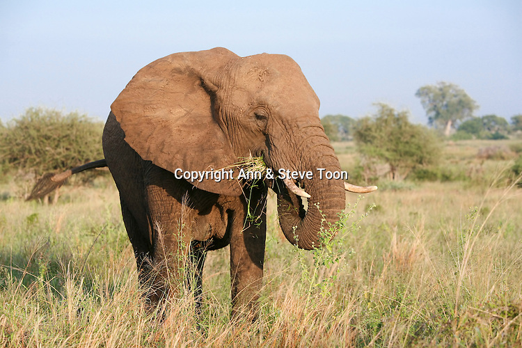 African elephant, Loxodonta africana, grazing, Kruger National Park, South Africa