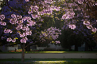 Jacaranda trees in bloom on the campus of Occidental College, June 8, 2018.<br />