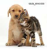 Kim, ANIMALS, REALISTISCHE TIERE, ANIMALES REALISTICOS, fondless, photos,+Tabby kitten, Picasso, 9 weeks old, rubbing in a friendly manner against cute Yellow Labrador puppy, 8 weeks old,++++,GBJBWP41659,#a#