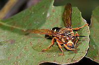Cicada Killer; Sphecius speciosus; on fig tree; NJ, Cape May