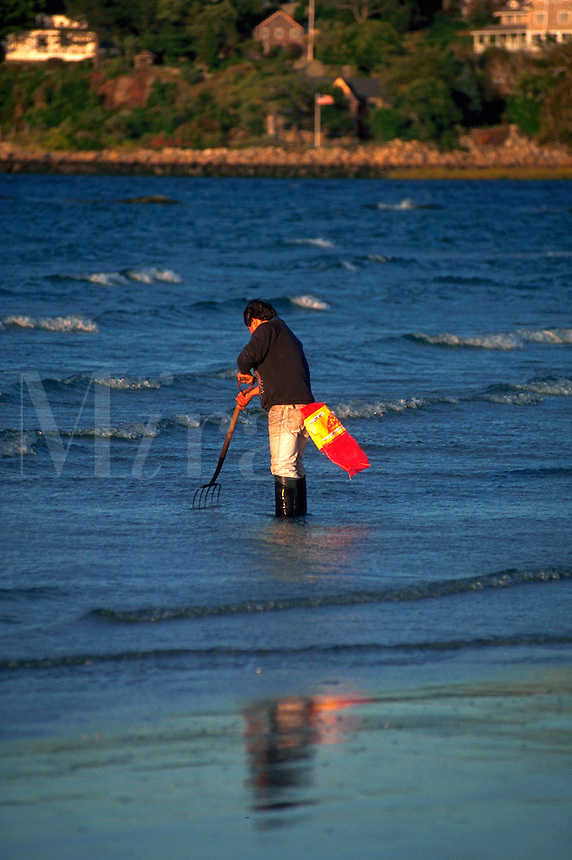 A clammer digs for clams in the shoreline. Gloucester, Massachusetts.