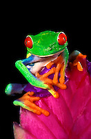 481634012 captive red-eyed tree frog agalychnis calladryas perches on a bromeliad flower native to south america