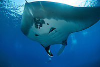 Manta ray and scubadiver at molokini maui hawaii.