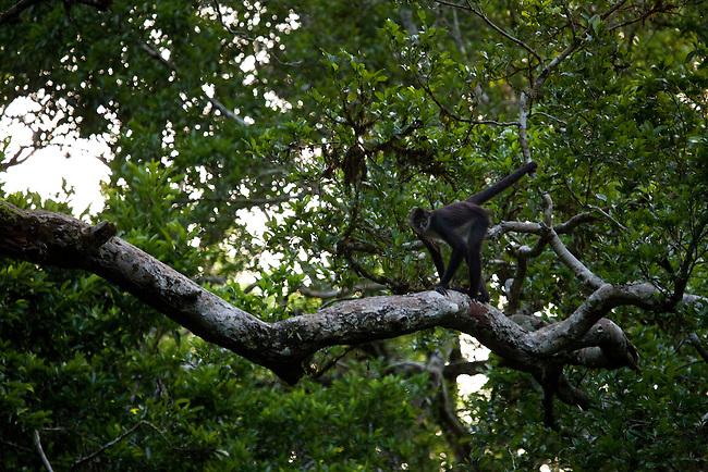 A spider monkey at El Mirador site in Mayan Biosphere.