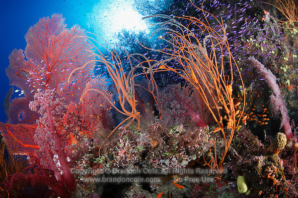qe0616-D. soft corals (Dendronephthya sp.), gorgonian sea fans (Subergorgia mollis), sea whips, and purple anthias fish (Pseudanthias spp.). Fiji, tropical Pacific Ocean..Photo Copyright © Brandon Cole. All rights reserved worldwide.  www.brandoncole.com..This photo is NOT free. It is NOT in the public domain. This photo is a Copyrighted Work, registered with the US Copyright Office. .Rights to reproduction of photograph granted only upon payment in full of agreed upon licensing fee. Any use of this photo prior to such payment is an infringement of copyright and punishable by fines up to  $150,000 USD...Brandon Cole.MARINE PHOTOGRAPHY.http://www.brandoncole.com.email: brandoncole@msn.com.4917 N. Boeing Rd..Spokane Valley, WA  99206  USA.tel: 509-535-3489