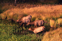 Jasper National Park, Canadian Rockies, AB, Alberta, Canada - Elk Cow Herd, Wapiti (Cervus canadensis), drinking at Watering Hole, Sunset